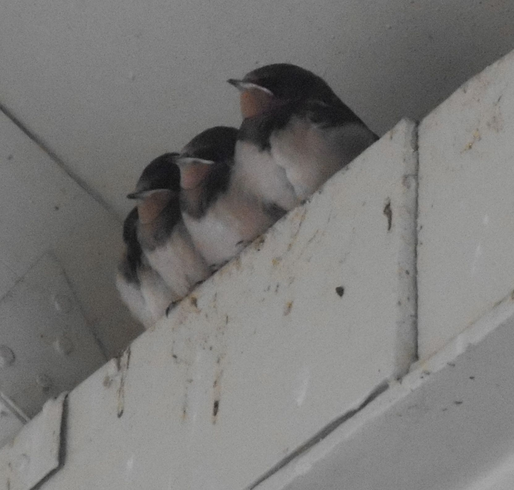 Barn Swallows (babies on our campus, 2013)