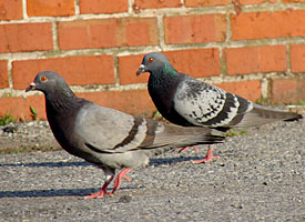 Rock Pigeon (picture by Beth Graham)