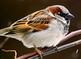 House Sparrow (image by Raymond Bellhumeur)