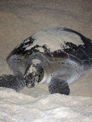 sea turtle laying eggs in the sand