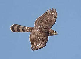 Cooper's Hawk (picture by Gerry Dewaghe)